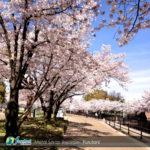 【銅相場情報2014.4.4】金岡公園の桜☆Photo by 平田さん