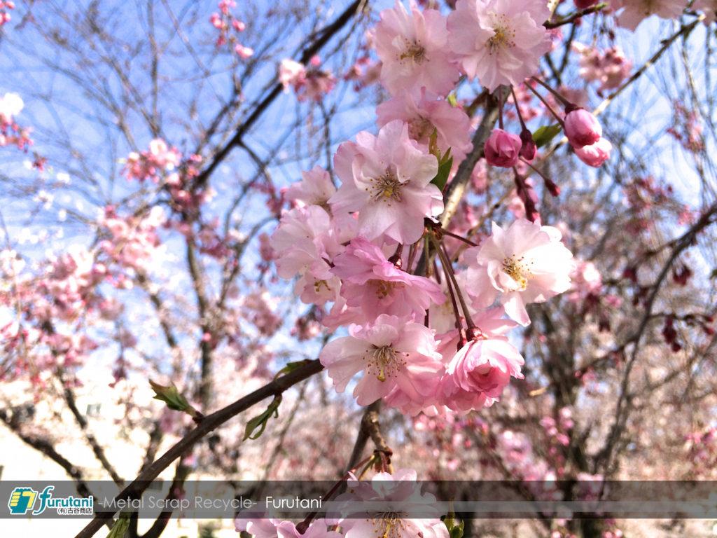 年度末は師走並みの忙しさ☆、金岡公園の桜に癒やされます♬