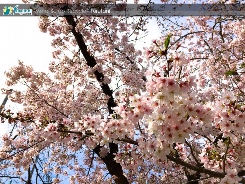 桜の開花と共に、鉄の価格も回復基調だぜ♬