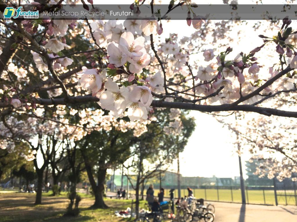 今年も金岡公園の桜は綺麗に咲いてくれました☆(^▽^)