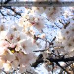 今年も金岡公園の桜は綺麗に咲いてくれました☆(^▽^