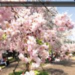 ちょっと一息、金岡公園の桜で癒されよう☆
