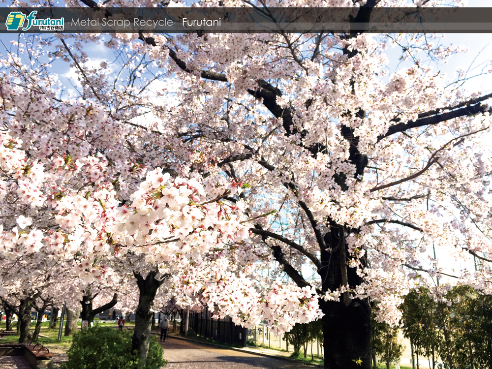 金岡公園の桜レポート2019☆